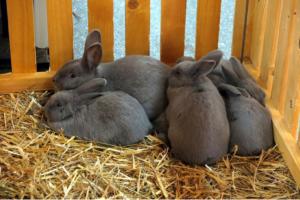 Kaninchen kastrieren